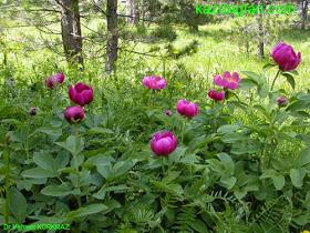 Şakayık çiçeğinin özellikleri