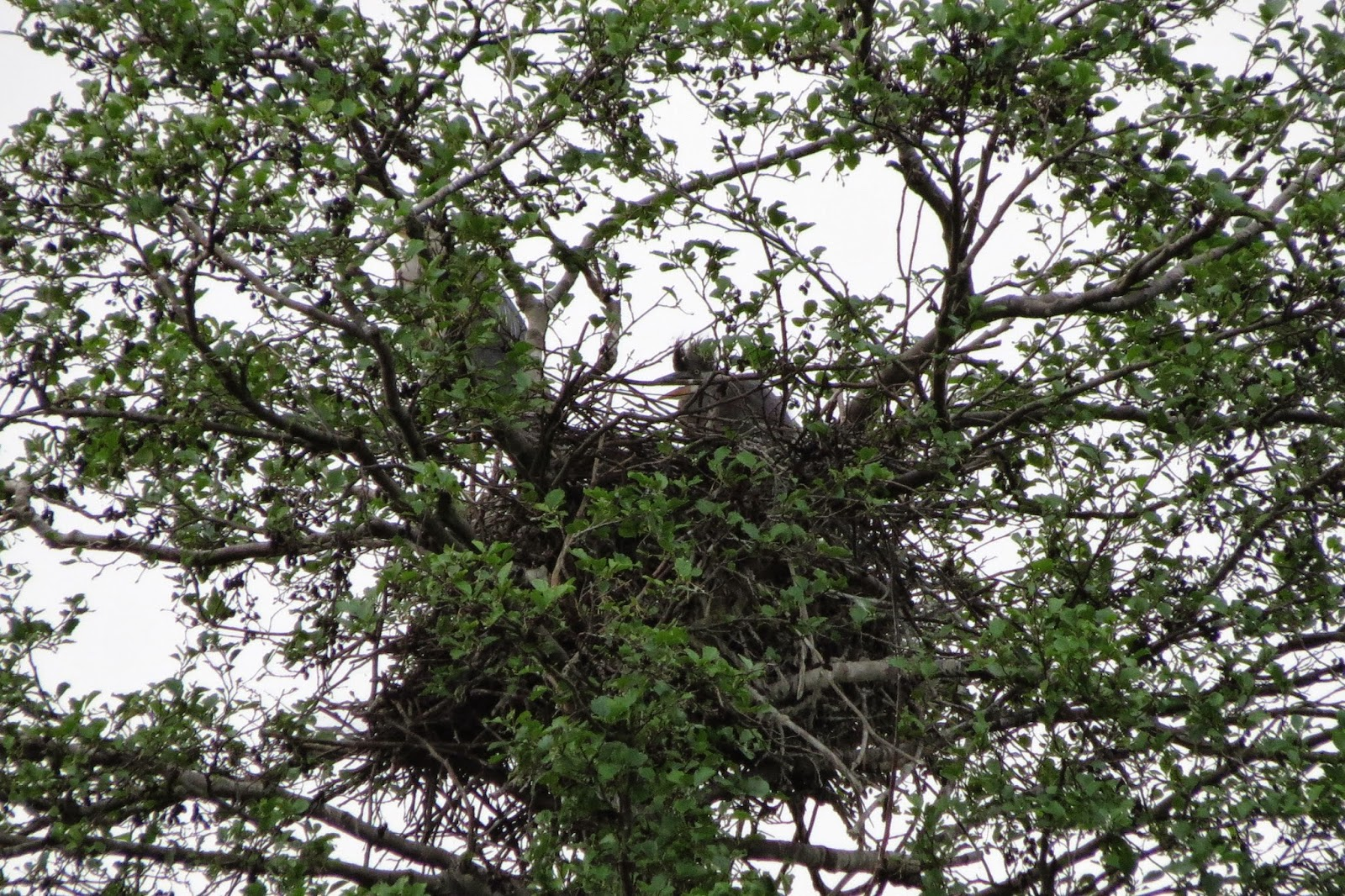 heron nest tree lake