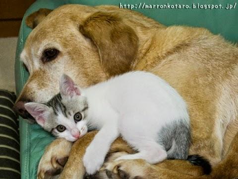 仲良しの大型犬と子猫
