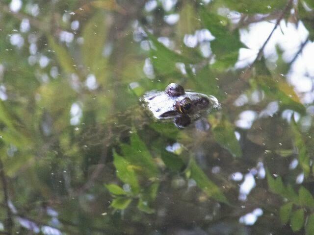 冬眠から覚めたウシガエルがモウ、モウとないでいた!