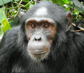 5 days Rwanda luxury gorilla and chimps tracking tout, rwanda gorillas chimps, gorillas primate tour rwanda, rwanda gorillas nyungwe tour, chimps gorillas rwanda, volcanoes, nyungwe, Gisakura, rwanda chimpanzee, rwanda gorilla, 5 days gorilla tour rwanda, luxury safari rwanda,primates tour rwanda cheap Gorilla trek Rwanda,mid-price Rwanda gorilla tour, gorilla safari, budget tour rwanda, Rwanda, rwanda tour operator, rwanda tour company, gorilla tour agent, gorilla,