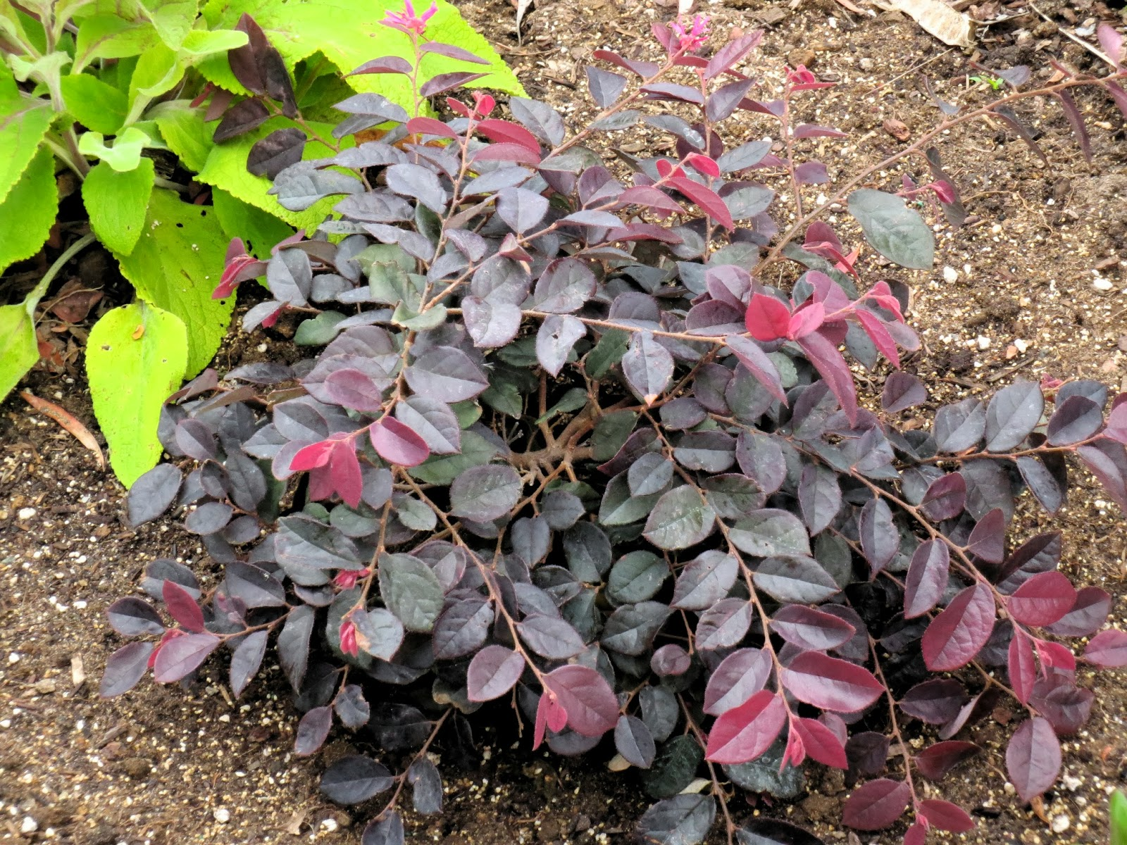 Dwarf Loropetalum Purple Diamond Loropetalum chinese  sizzlingDwarf Loropetalum