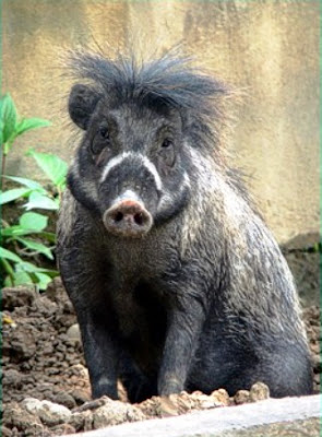 Sus cebifrons (Cerdo Verrugoso de Visayas)