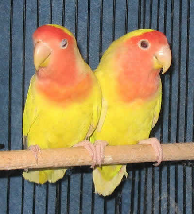 Parrot price in Chenna...