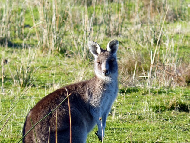Great Ocean Road Melbourne kangourou