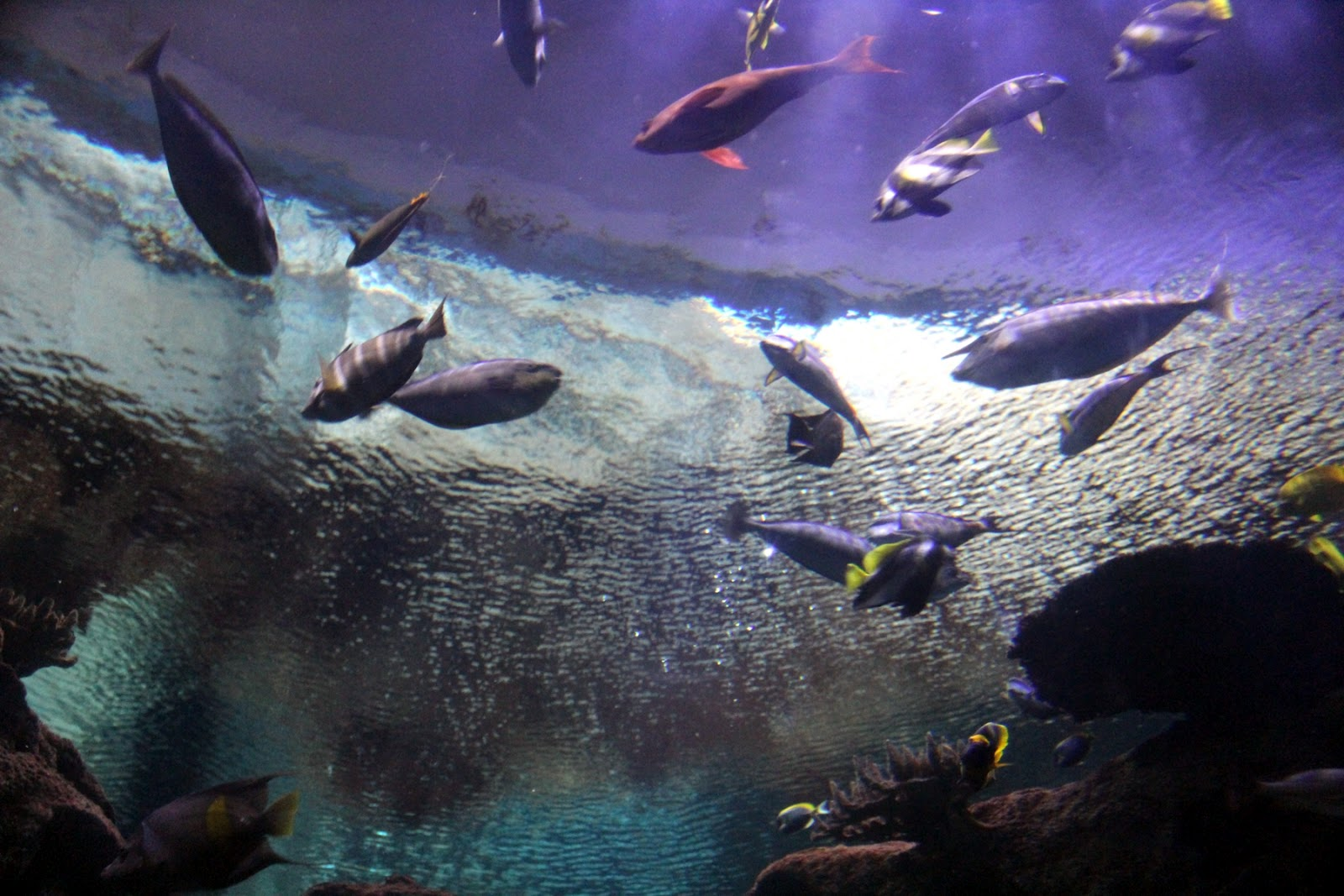 Pin Blacktip Reef Shark Shedd Aquariums Wild Flickr Photo