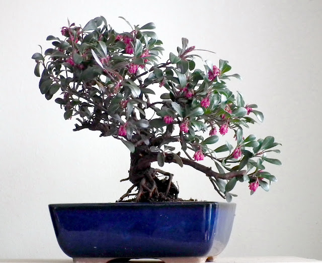 kinnikinnick, uva-ursi, Vancouver Jade blooming bonsai in blue bonsai pot