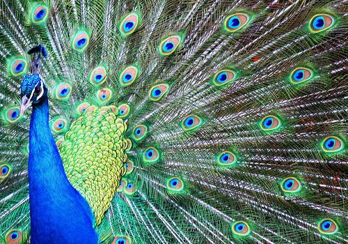 Sogni dintorni sognare un pavone - Immagini pavone a colori ...
