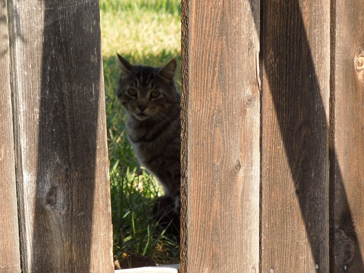 Cat peaking though hole in fence. © B. Radisavljevic