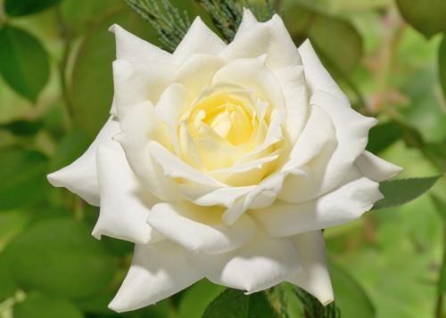 Pascali rose сорт розы фото