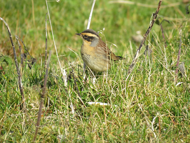 SIBERIAN ACCENTOR-MOSSY HILL-SHETLAND-10TH OCTOBER 2016