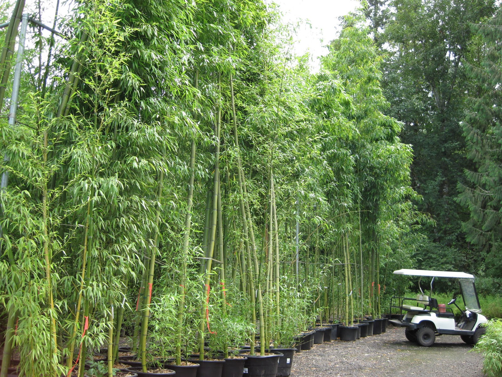 Bamboo Grove Photo Bamboo Garden Screens