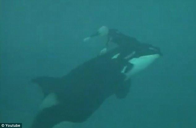 thai panda chilling video shows moment seaworld killer