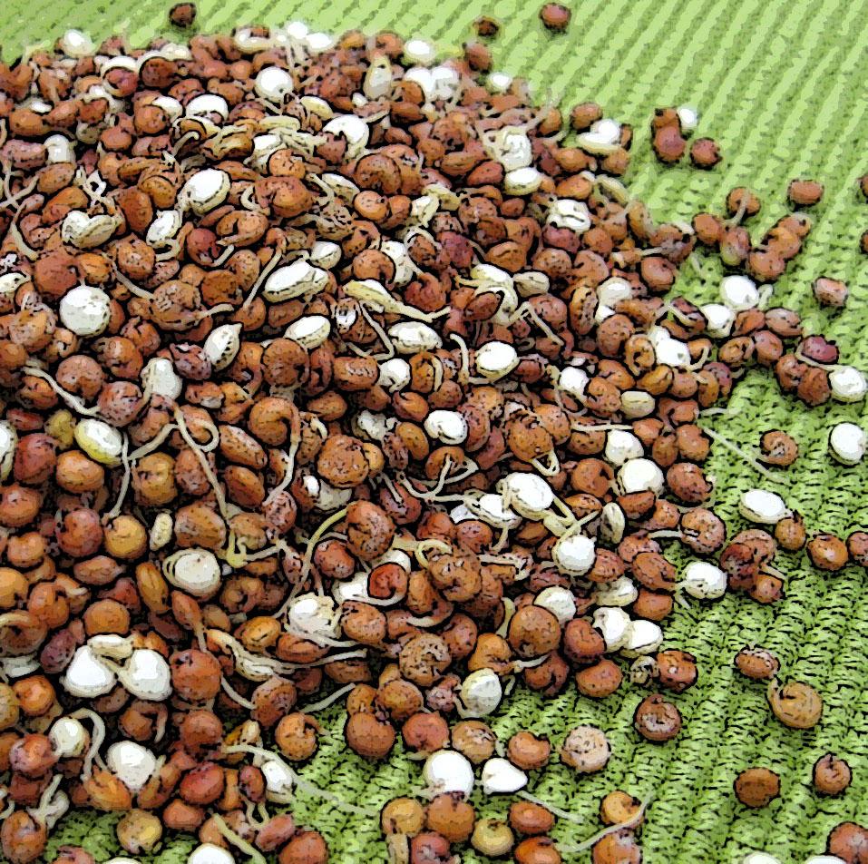 Quinoa graine de star jean pierre montanay reporter for Plante quinoa