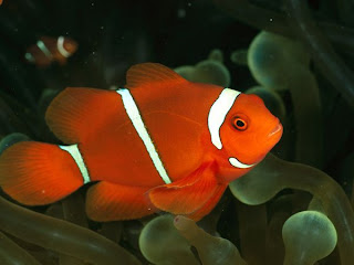 Ikan Badut / Clown fish