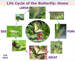 http://shelledy.mesa.k12.co.us/staff/computerlab/Butterfly_Egg.html