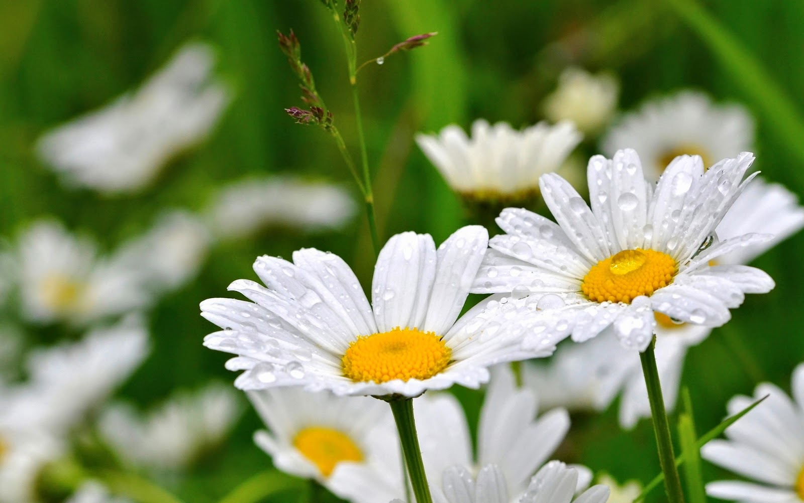 Daisy-flower-wallpaper-for-mobile-tablet-download.jpg