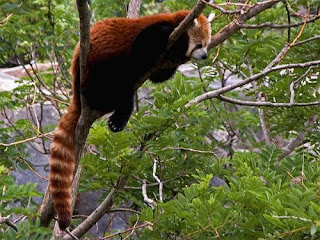 Funny Red Panda Bueatiful Images
