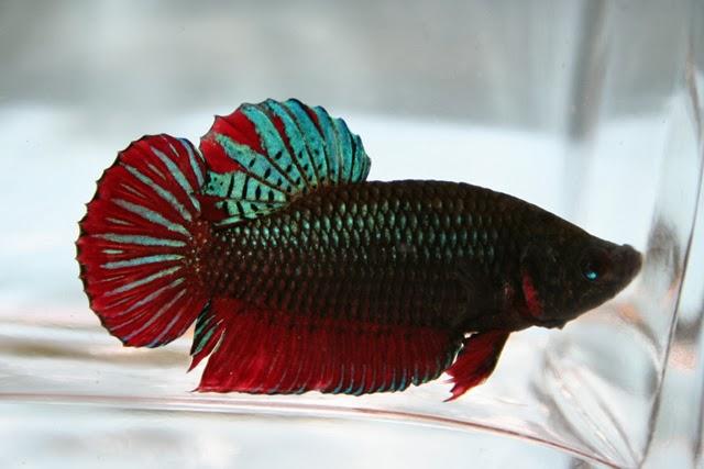 Animal el pez betta for Oxigeno de peceras