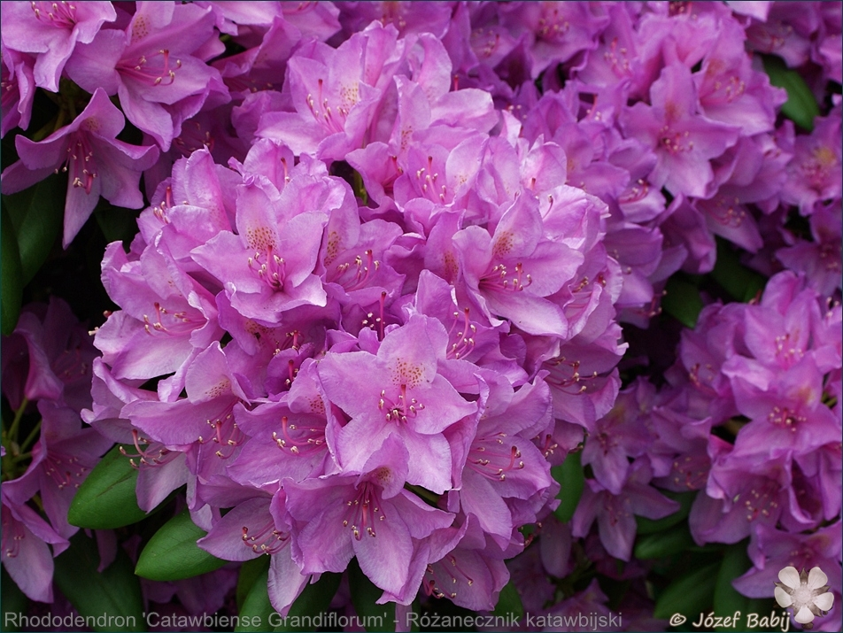 Rhododendron 'Catawbiense Grandiflorum' - Różanecznik katawbijski wielkokwiatowy