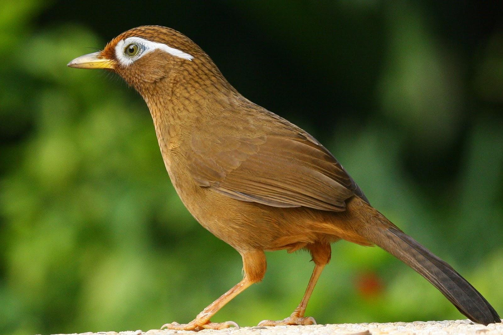 Gambar Burung Berkicau - Download Image