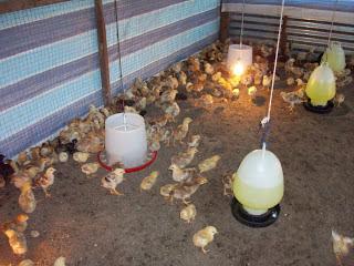 membesarkan ayam kampung