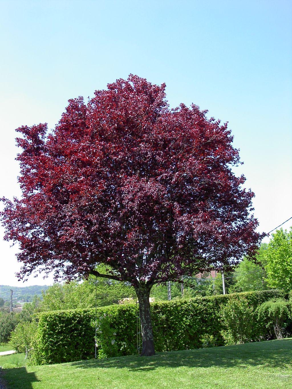 Arte y jardiner a cerezo ornamental prunus spp for Arbol del fuego jardin