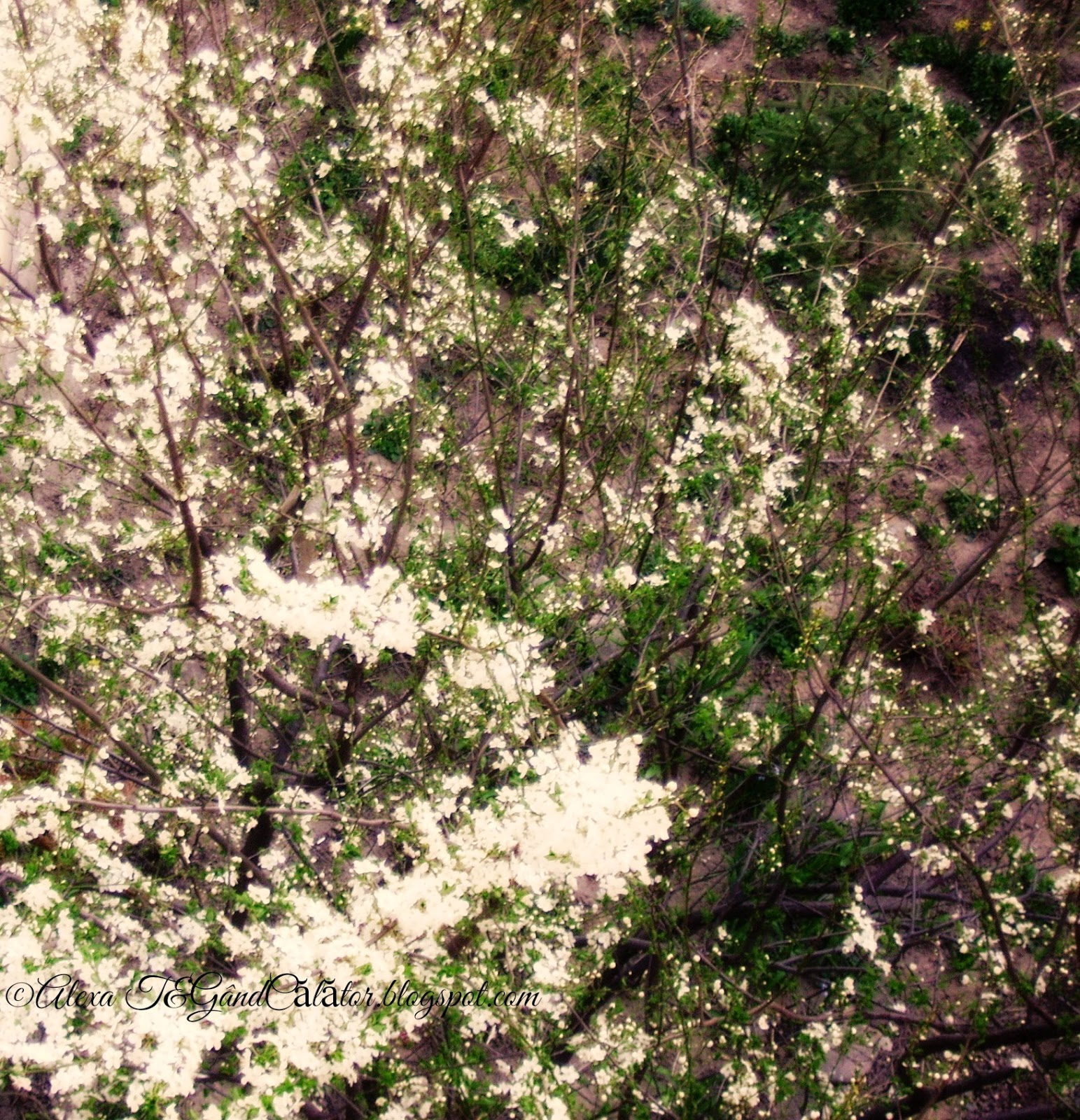 New blooms and the first green leaves on branches of of white cherry plum (Corcodușul - Prunus cerasifera, sinonim P. divaricata) in Springtime of March, 26, 2015.