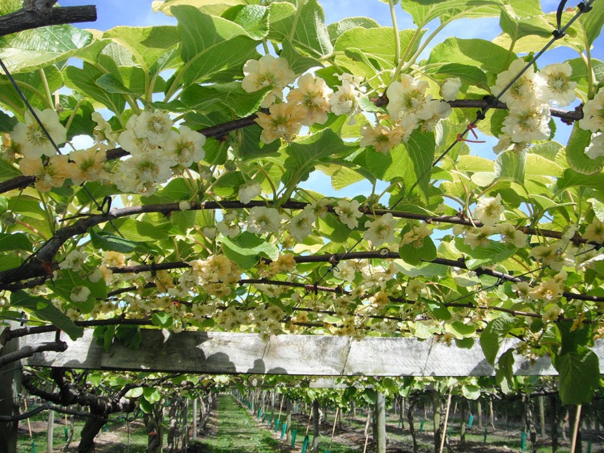 Do You Know What Your Favorite Foods Look Like While Growing - Juicy kiwis grow on vines, too.