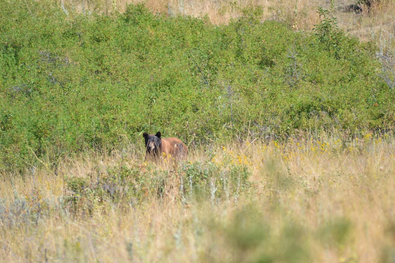 Black bear, national Bison range, Montana