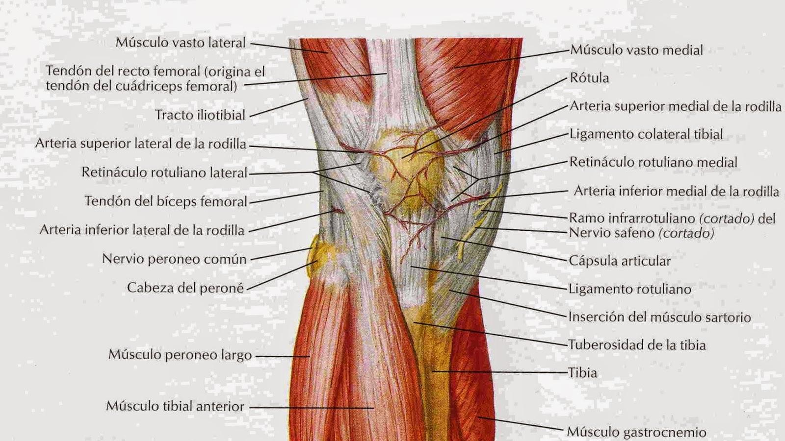 anatomíacaderayrodilla: 2014