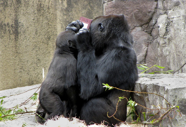 A gorilla playing Nintendo DSi XL, gorilla pictures, gorilla playing nintendo