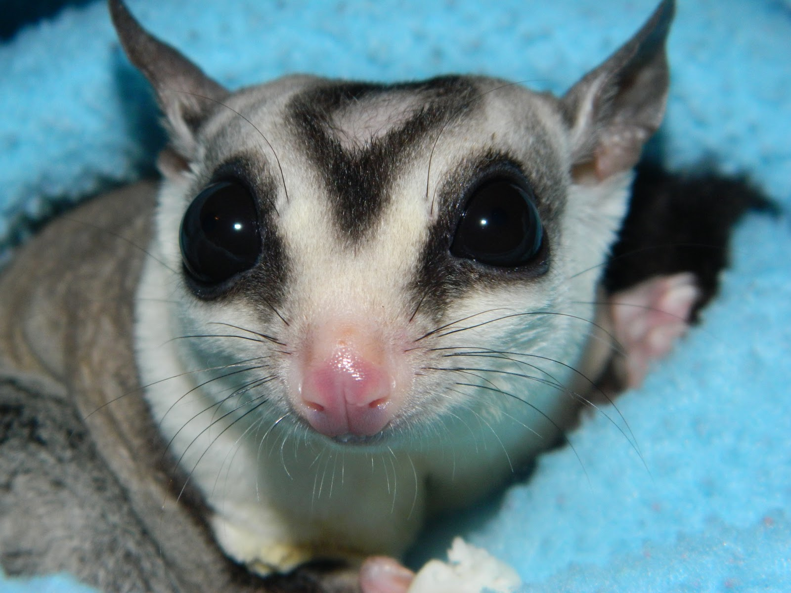 Can A Sugar Glider Get Sick From A Cat