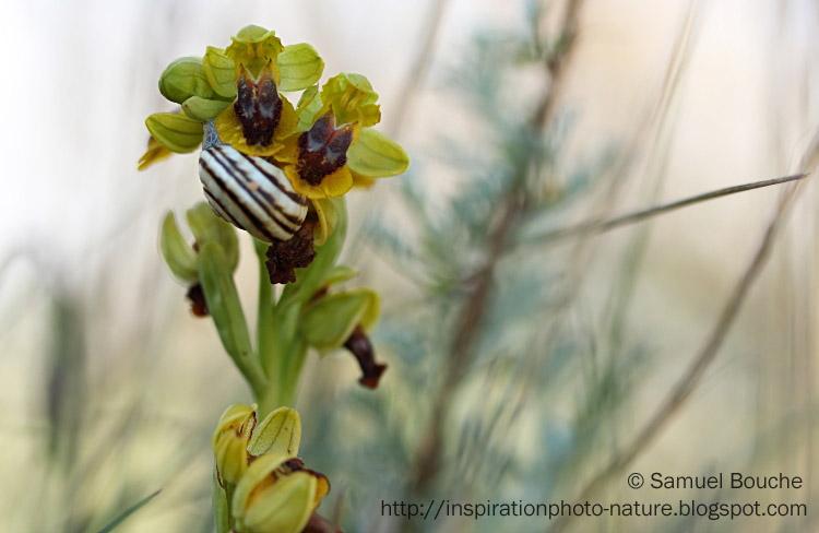 fleur jaune dans la nature ophrys