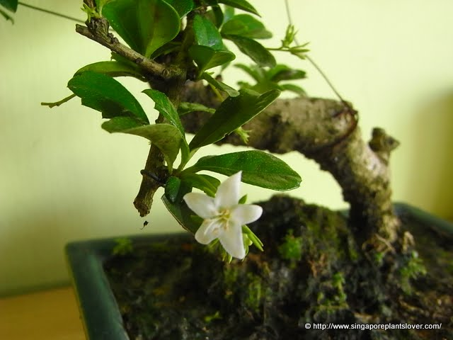 Singapore plants lover little whiite flowers in bonsai with naturally small leaves and even more beautiful small white flowers the tree is loved by bonsai lovers all around the world mightylinksfo