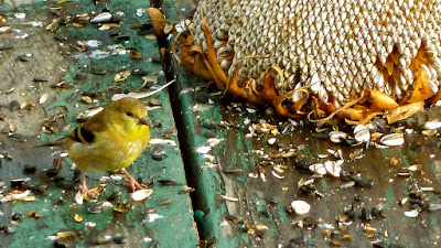 bird feeding on sunflower seeds on top of a picnic table