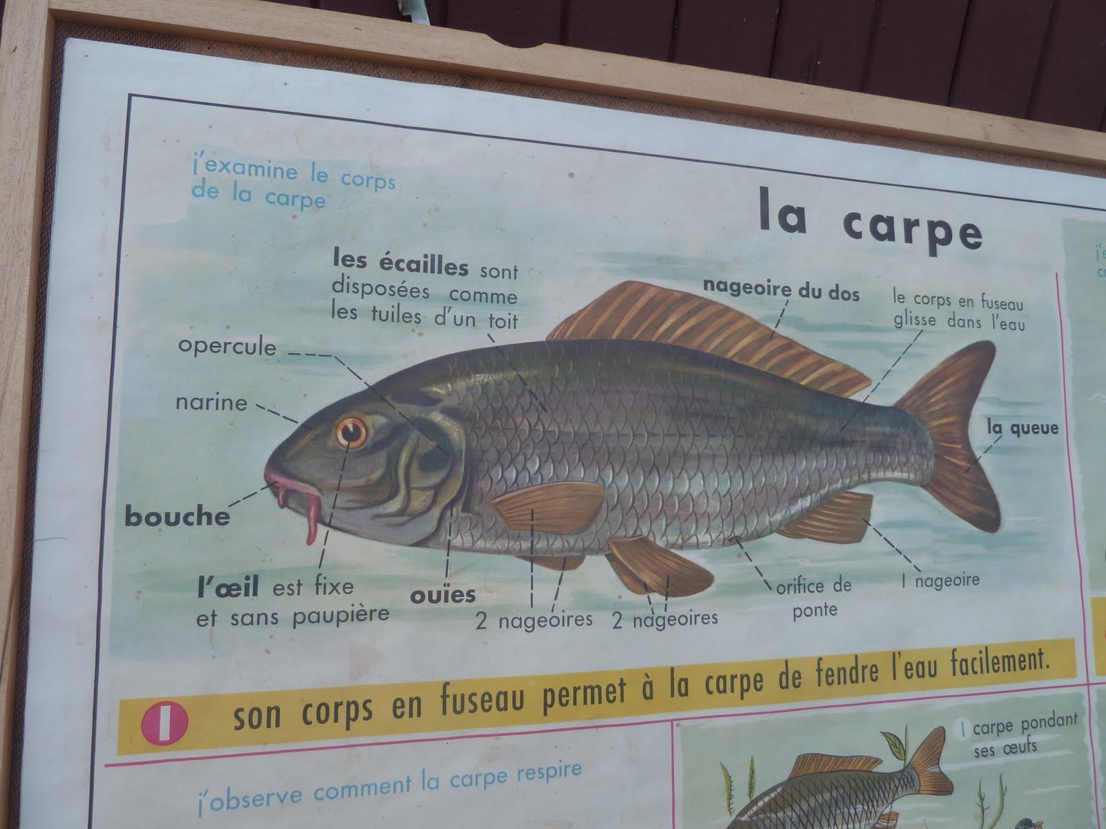 Ecole fmr 1000 affiches scolaires la carpe les poissons for Poisson carpe