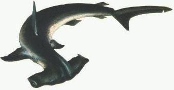 Pez Martillo o Tiburón Martillo con vista desde arriba