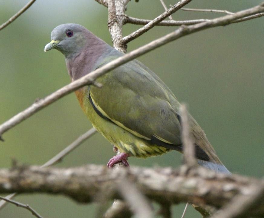 Vinago cuello rosa, Pink necked green pigeon: Treron vernans