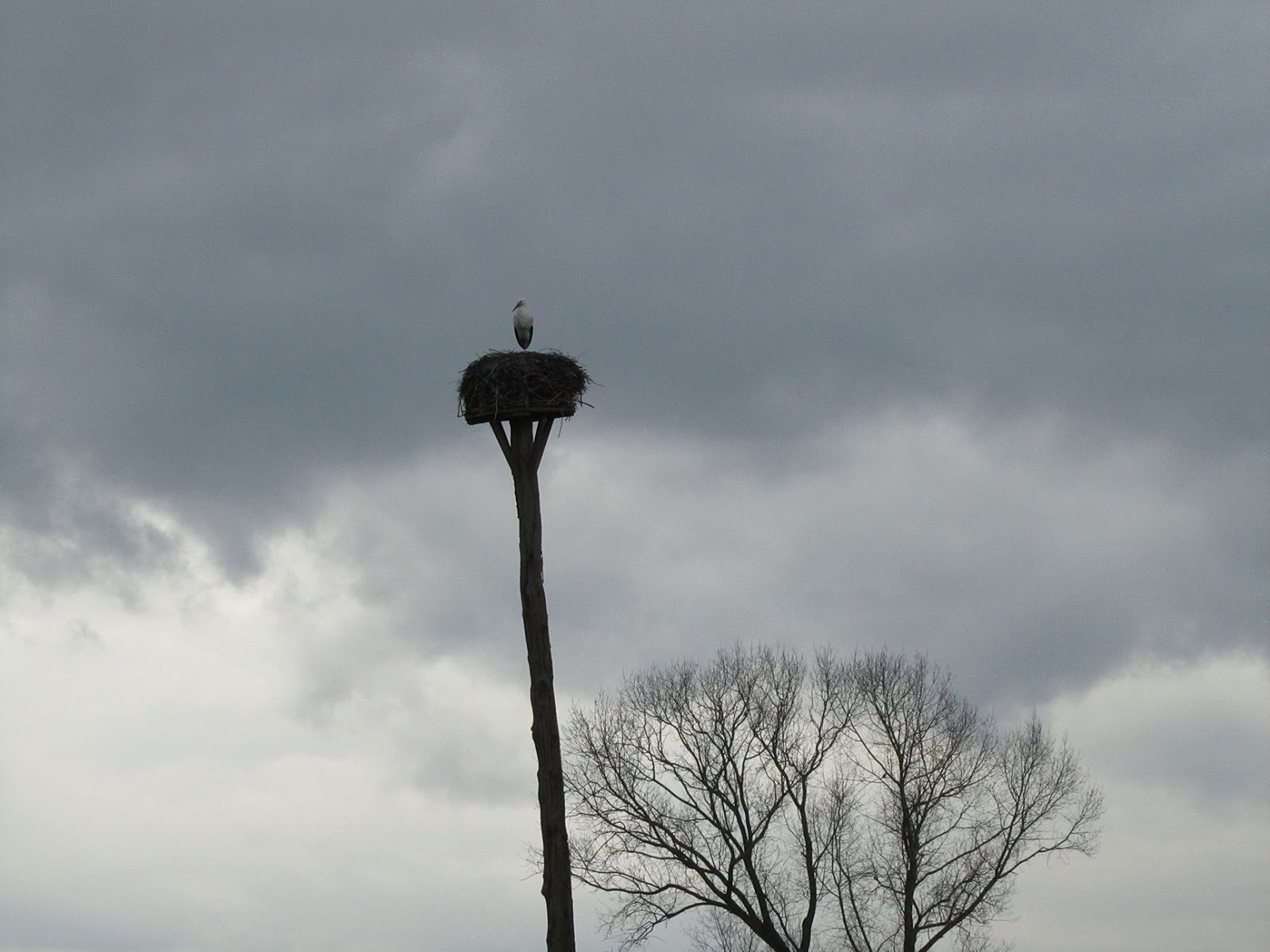 male stork