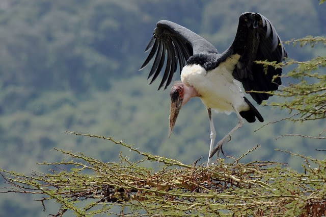 Buy Wall Art of Maribou Stork