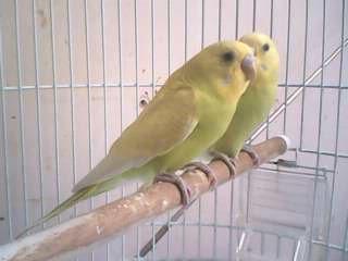 Burung Kenari,Tips  Agar Burung Kenari Berkicaunya panjang dan volumenya tinggi