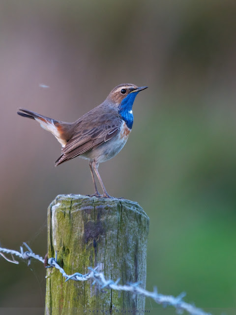 Blauwborst na zonsondergang - Bluethroat after sunset - Luscina svecica