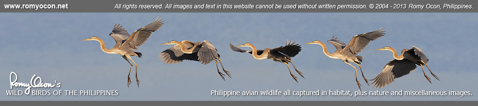 Romy Ocon's Wild Birds of the Philippines