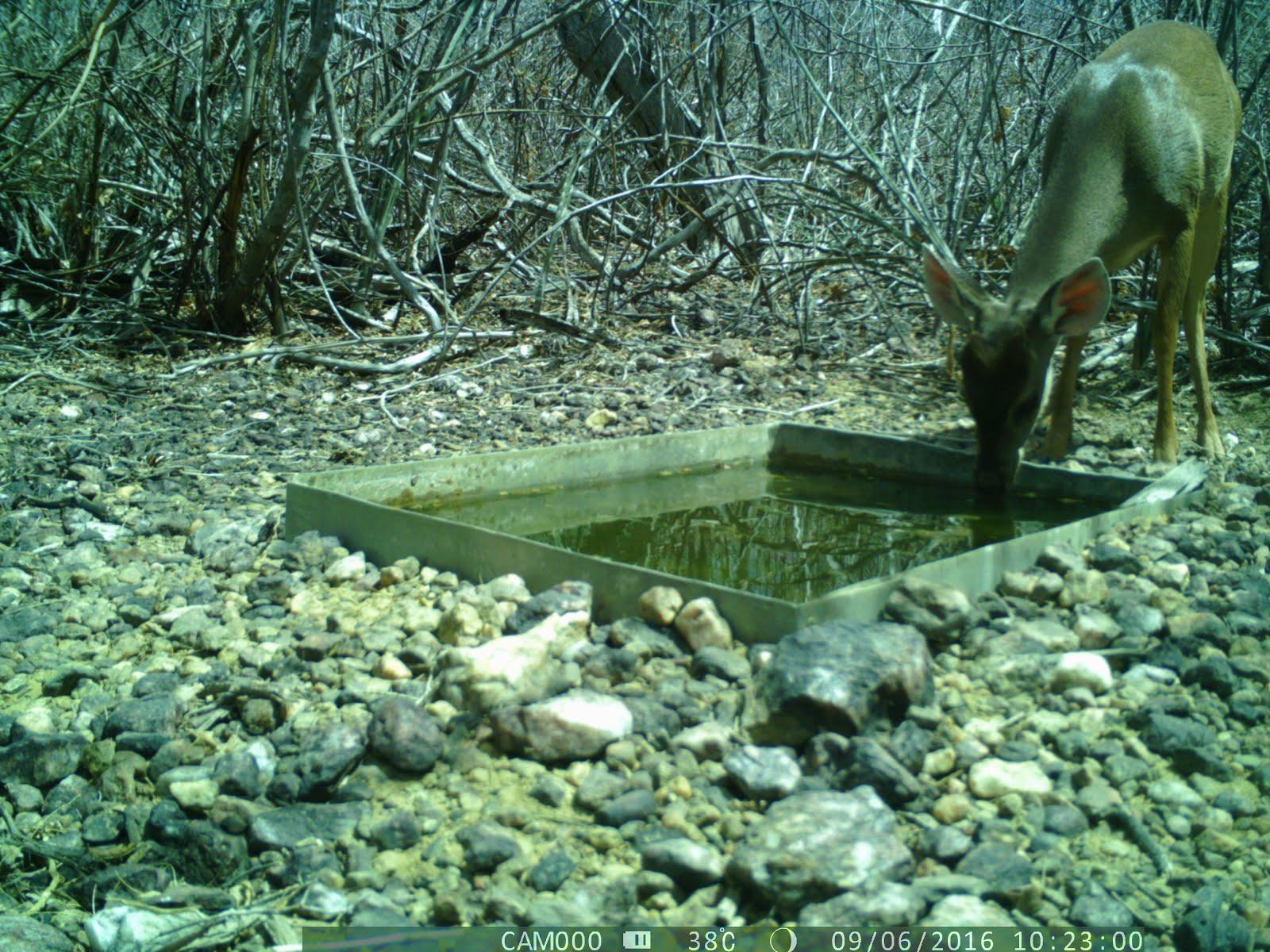 Um veado bebendo água