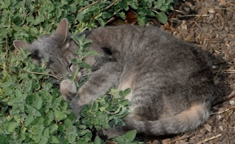 Tia the cat snuggling catmint in the garden
