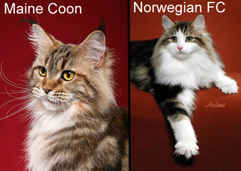 Comparison between Maine Coon