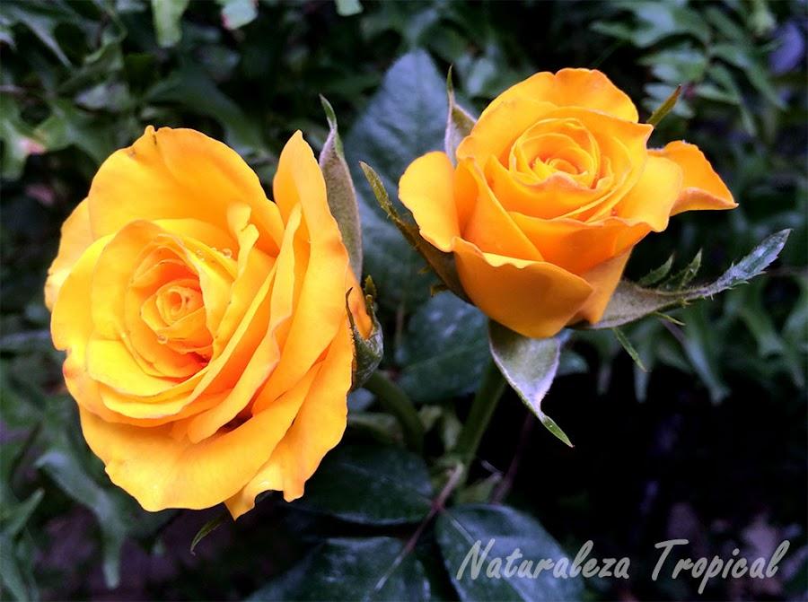 Variedad amarilla de la flor de una rosa