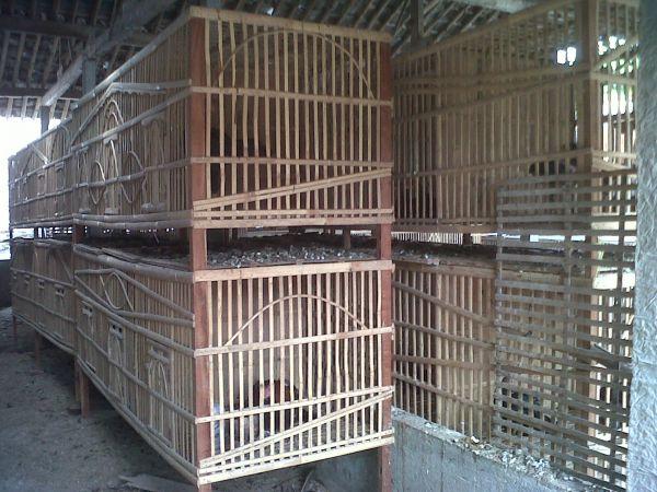Kandang Untuk Ayam Bangkok Aduan