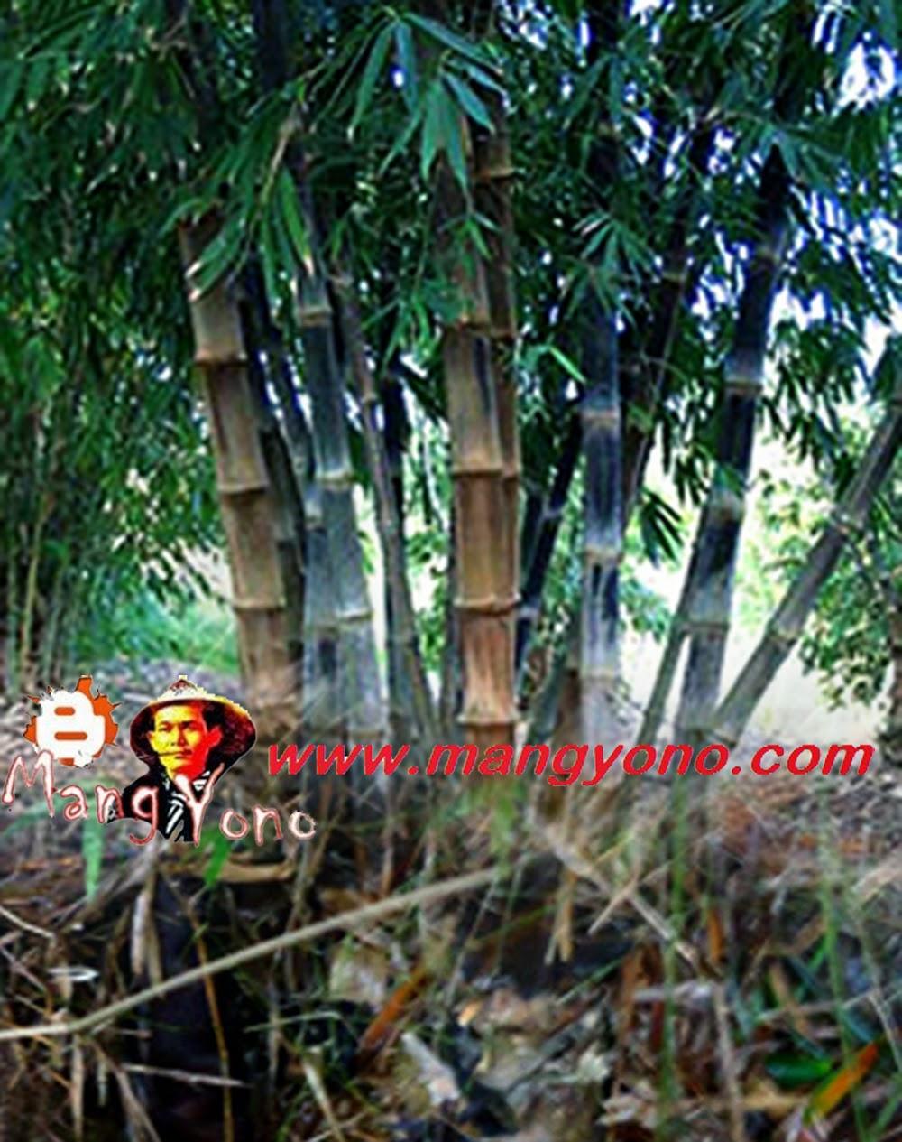 Cara perbanyak bambu dengan mencangkok ala petani Thailand.